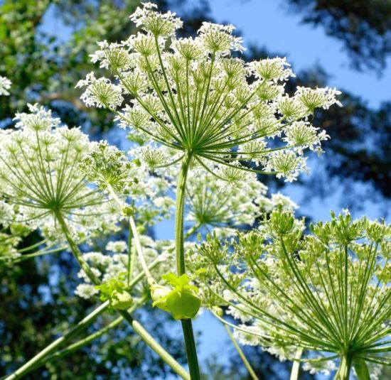 Health Benefits of Angelica Essential Oil