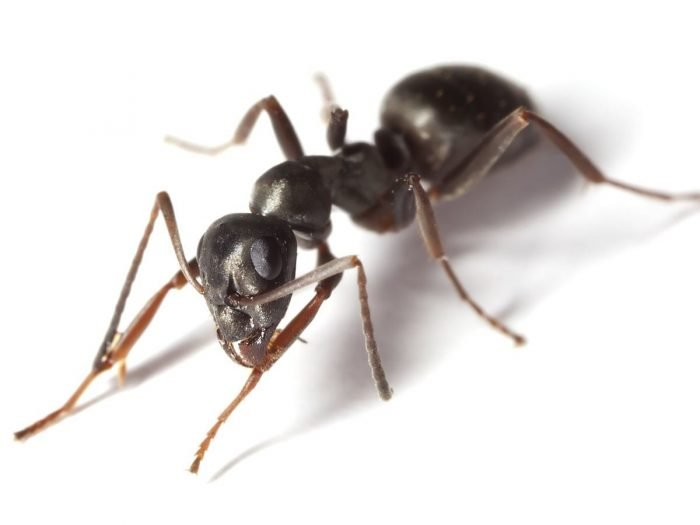 how to kill ants with borax and jelly
