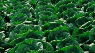 13 Amazing Benefits of Cabbage