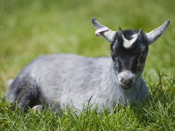 Nutritional Value of Goat Milk and Sheep Milk