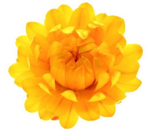 Helichrysum2