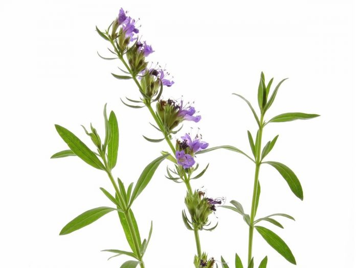 Health Benefits of Hyssop Essential Oil