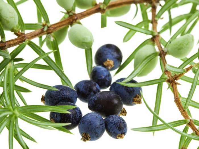Health Benefits of Juniper Essential Oil