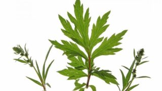 Health Benefits of Mugwort Essential Oil