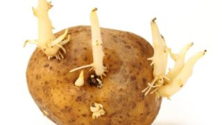 8 Ways to Control Potato Sprouts