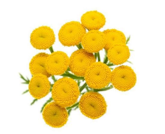 Health Benefits of Tansy Essential Oil