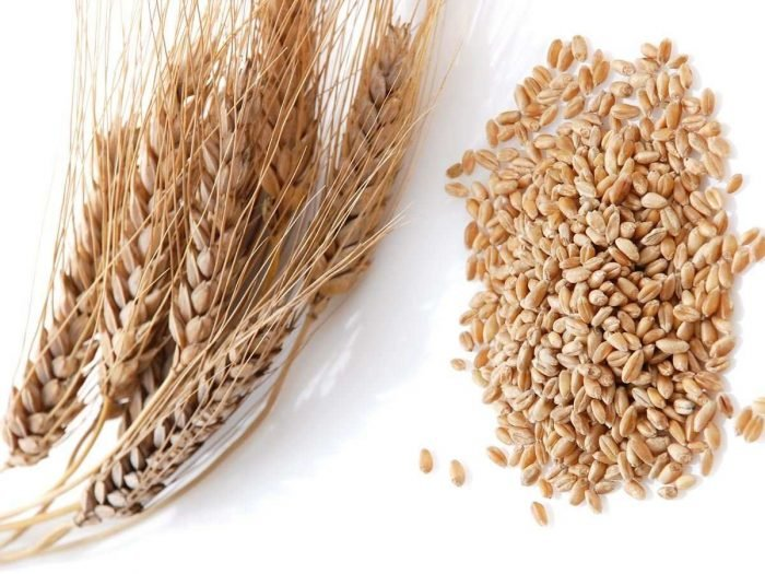 how to tell wheat from barley