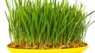 11 Impressive Benefits Of Wheatgrass Nutrition