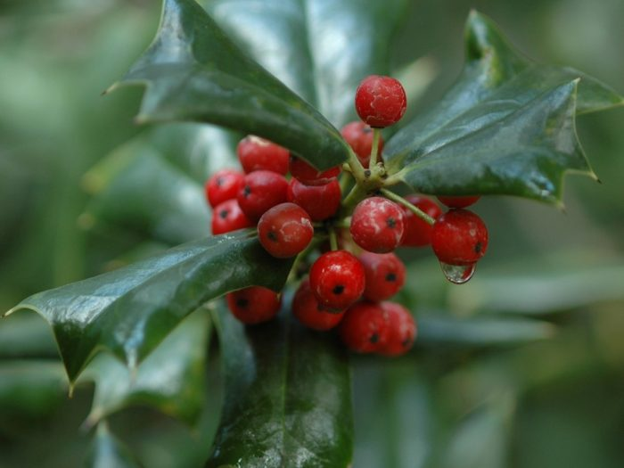 Health Benefits of Wintergreen Essential Oil