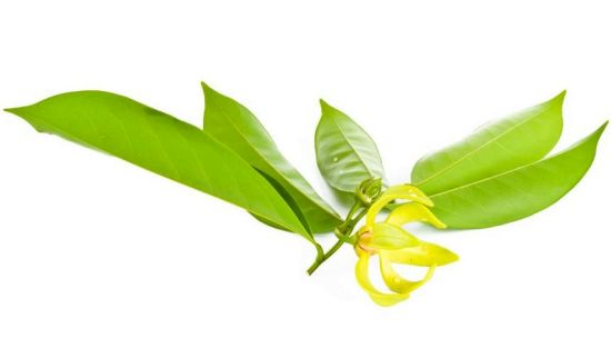 Health Benefits of Ylang-Ylang Essential Oil