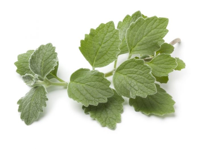 Health Benefits of Indian Borage (Mexican Mint)