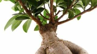 15 Les avantages surprenants de l'Ashwagandha ou du ginseng indien