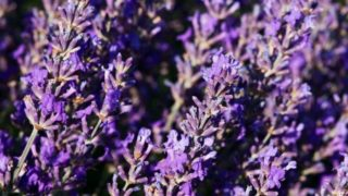 7 Impressive Benefits of Lavender
