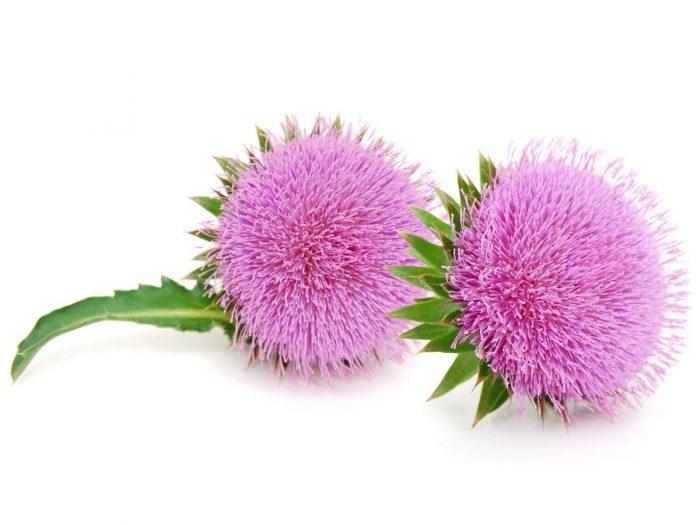 Health Benefits of Milk Thistle
