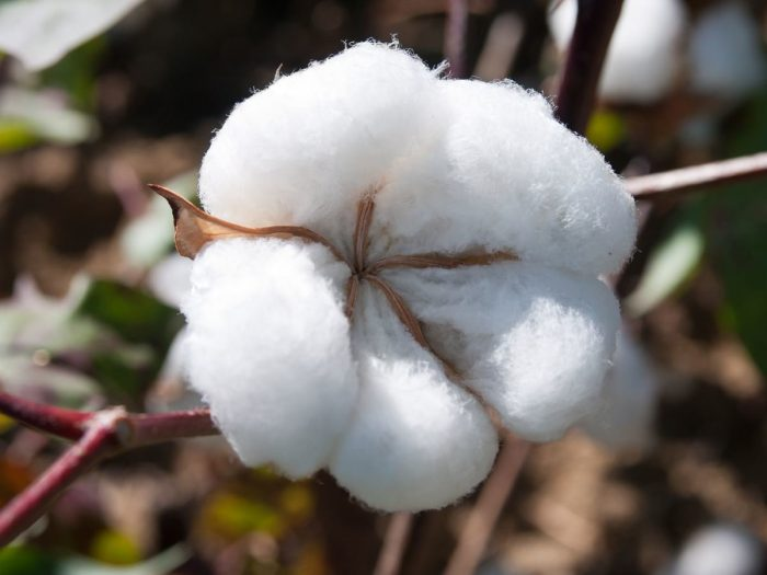 cotton plant hindu personals Personal ads for cotton plant, ar are a great way to find a life partner, movie date, or a quick hookup personals are for people local to cotton plant, ar and are for ages 18+ of either sex.