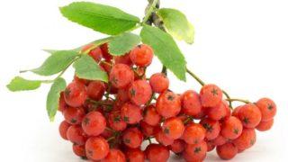 5 Amazing Benefits of Rowan Berries