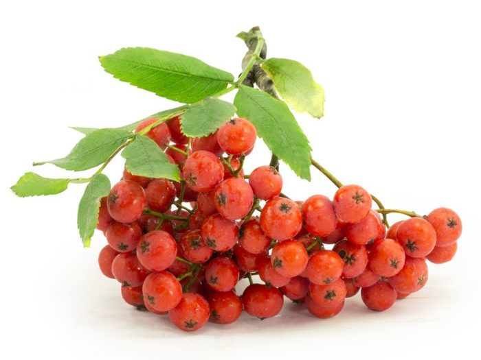 Health Benefits of Rowan Berries