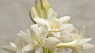 Health Benefits of Tuberose Essential Oil
