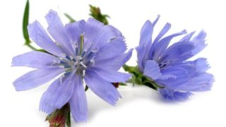 9 Surprising Benefits of Chicory