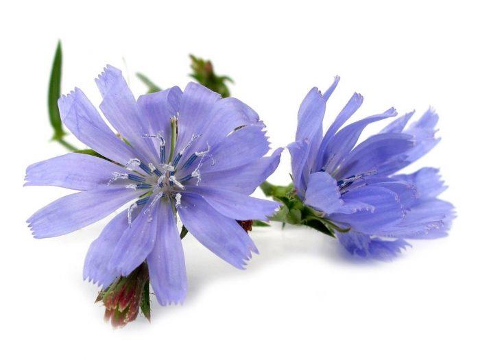 Health Benefits of Chicory