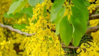 13 Surprising Benefits of Cassia Essential Oil