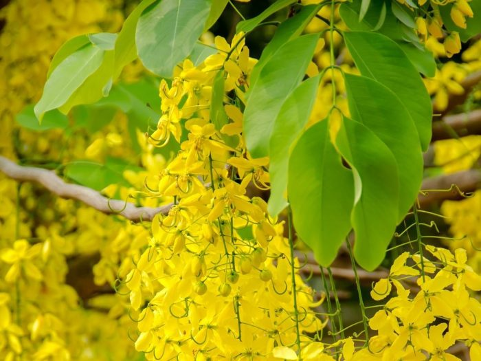 Health Benefits of Cassia Essential Oil