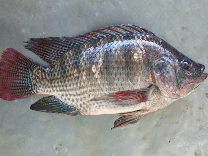 Health Benefits of Tilapia