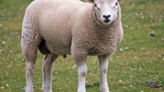 7 Amazing Benefits of Sheep Milk
