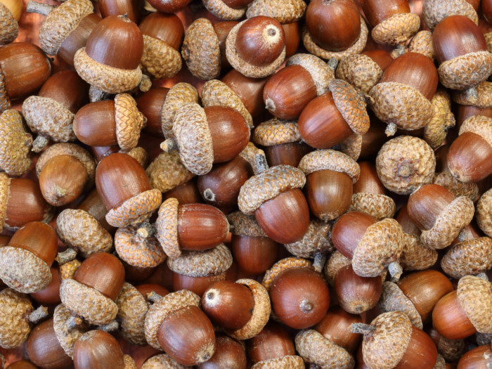 Acorns piled up against each other