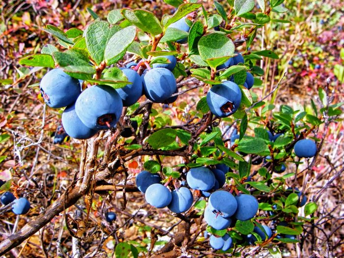 An image of Alaska blueberries in the garden