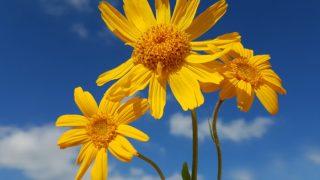8 Surprising Benefits of Arnica Montana