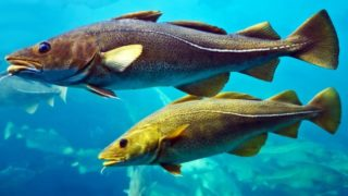 15 Incredible Benefits Of Cod Fish
