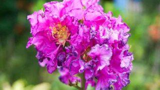 5 Best Benefits of Banaba Leaf