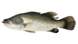 7 Incredible Benefits of Barramundi