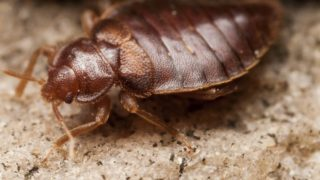 12 Surprising Home Remedies to Prevent Bed Bugs