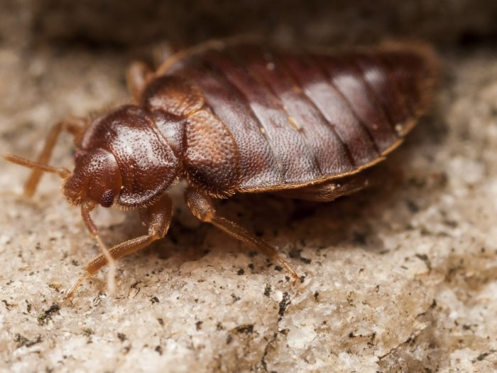 12 Surprising Home Remedies To Prevent Bed Bugs Organic