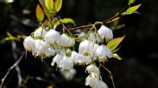 11 Wonderful Benefits of Benzoin Essential Oil