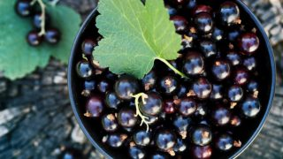 Top 6 Benefits of Black Currant Juice