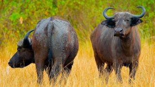 5 Wonderful Buffalo Milk Benefits