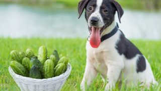 Can Dogs Eat Cucumber?
