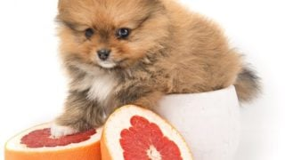 Can Dogs Eat Grapefruit