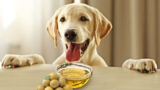 Olive Oil for Dogs: Good or Bad