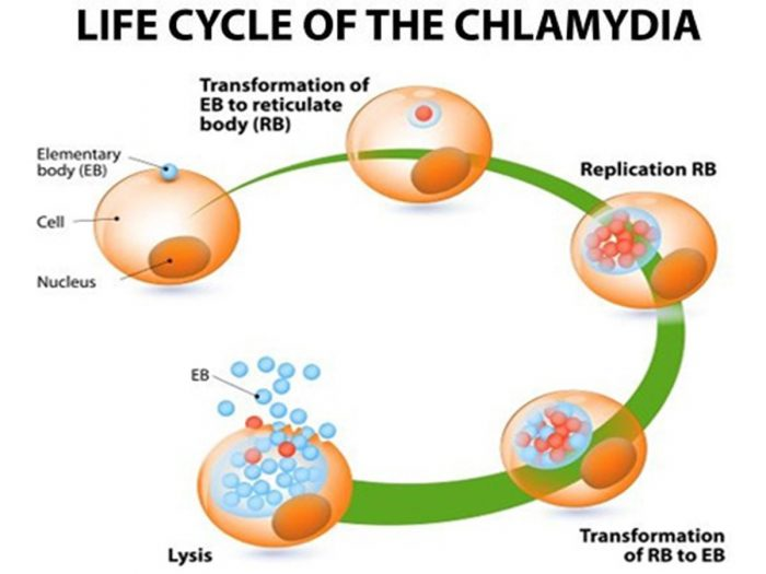 Chlamydia Infection Treatments Home Remedies Organic Facts
