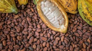 Cocoa beans with cocoa fruits and pod