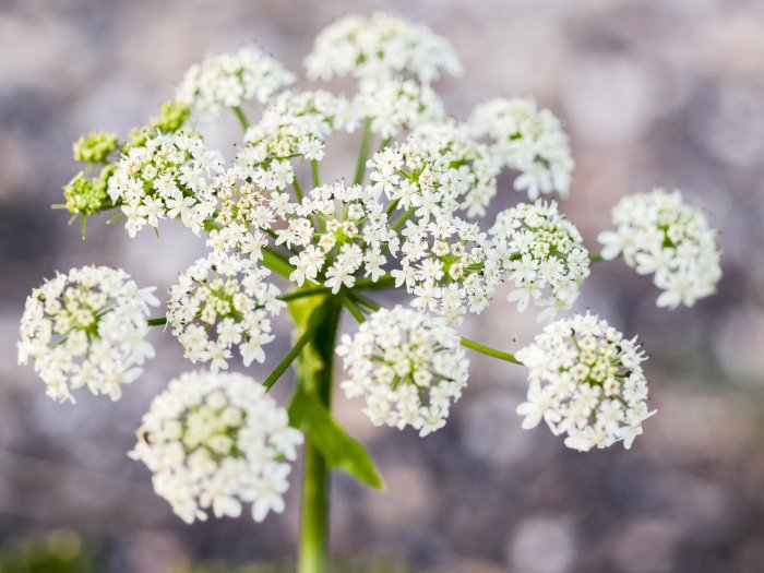 Is Cow Parsley Safe To Eat