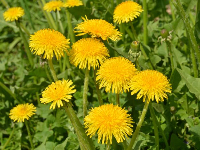 ۱۳ خاصیت استفاده از گل قاصدک