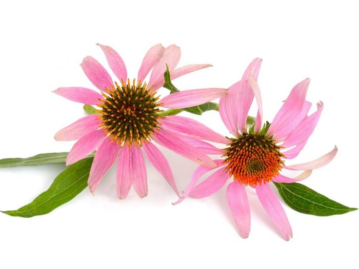 echinacea plant with pink colour petals