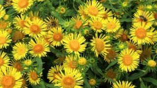 9 Amazing Benefits & Uses of Elecampane