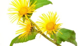 8 Incredible Benefits of Elecampane Essential Oil