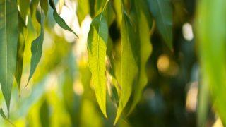 6 Impressive Eucalyptus Benefits